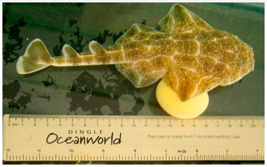 Juvenile Squatina Squatina Dingle Oceanworld