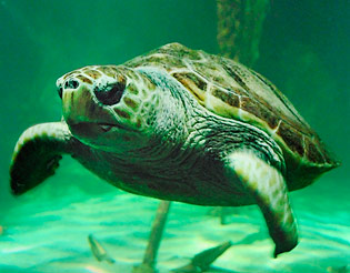 molly the turtle dingle oceanworld