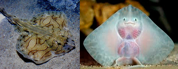 Baby Undulate Ray born at Oceanworld
