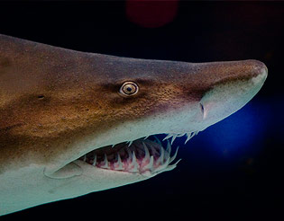 sandtiger shark dingle