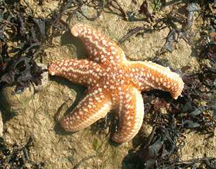 starfish dingle