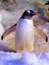 Sven the penguin dingle oceanworld