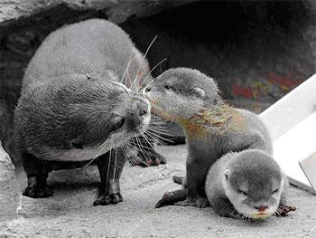 otter-babysitting