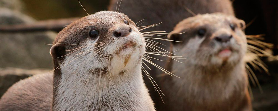 Otters at Dingle Aquarium