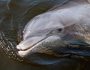 bottlenose dolphin dingle