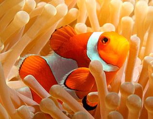 nemo the clownfish dingle oceanworld