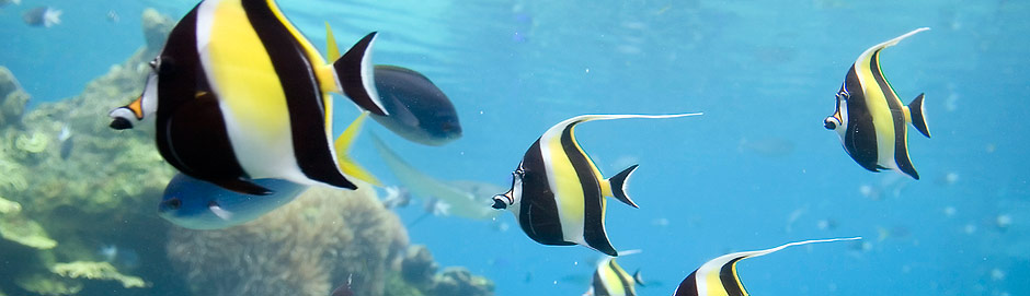 Moorish Idols Dingle Oceanworld