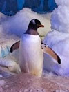 Odin the penguin dingle oceanworld