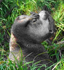otter-preening