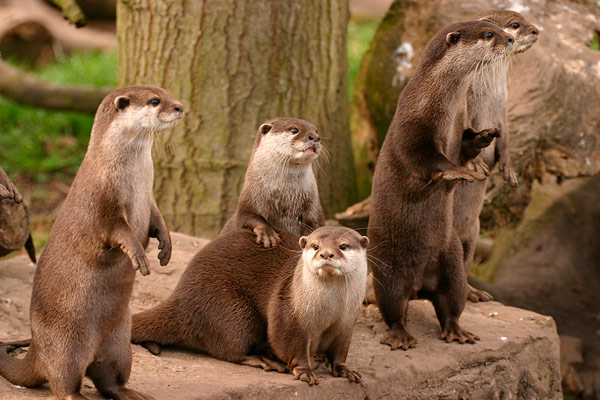 Otters at Dingle Oceanworld