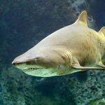 Sandtiger Shark at Dingle Oceanworld