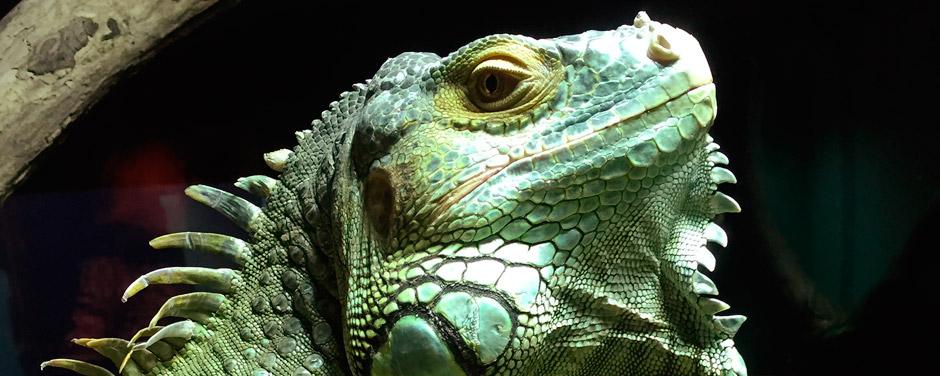Iguana Dingle Oceanworld
