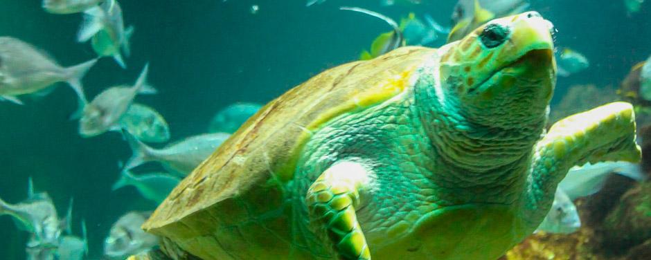 Molly the turtle Dingle Oceanworld