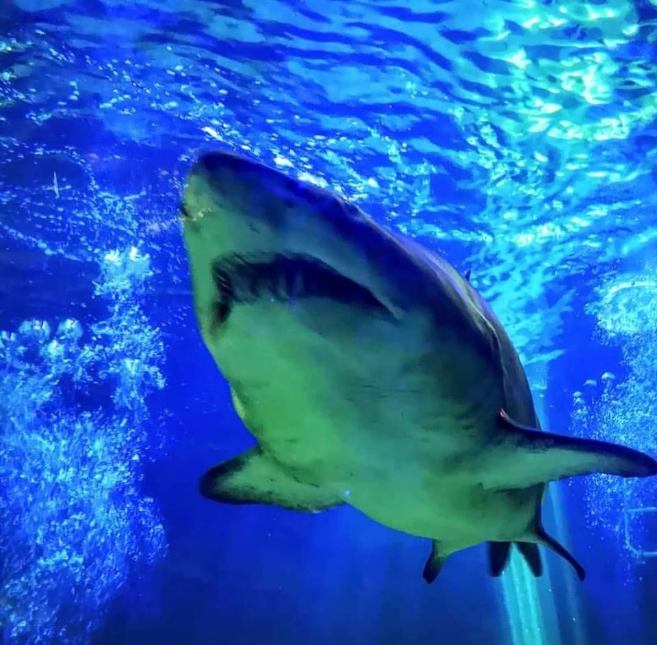 sandtiger shark at dingle oceanworld
