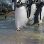 Penguin - action shot