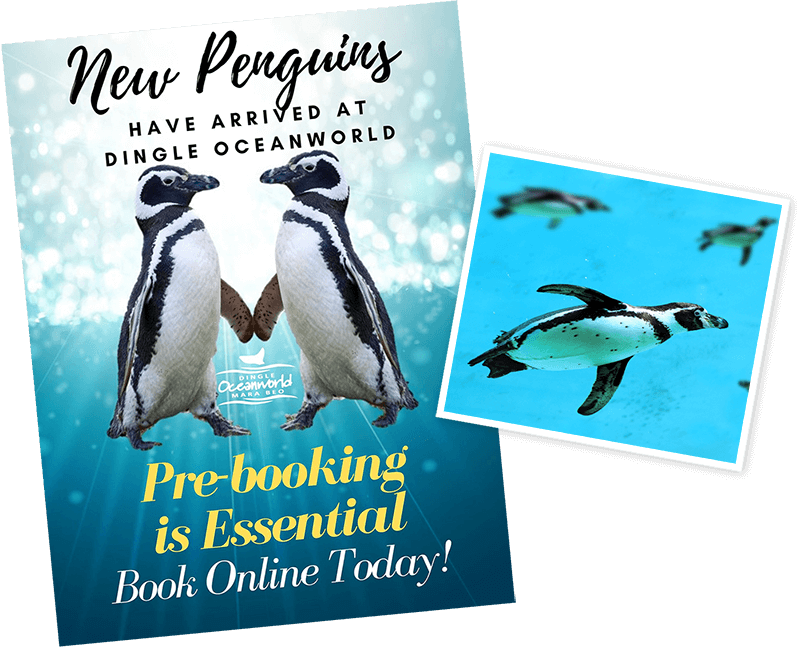 New Penguins at Dingle Oceanworld